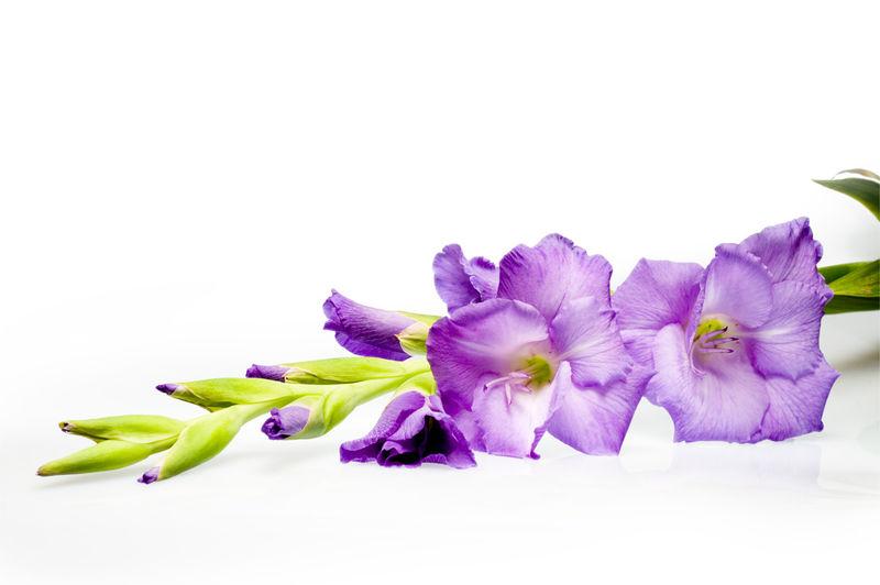Purple_Gladioli